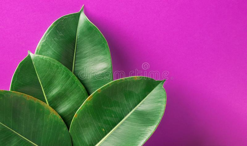 Beautiful big fleshy fresh green potted Ficus Elastica leaves on purple painted wall background. Room Plant Interior Decoration royalty free stock photo