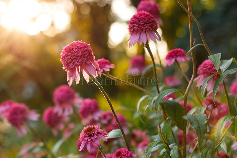 Beautiful pink Echinacea or coneflower flowers at sunny garden. Beautiful big fresh pink Echinacea or coneflower flowers at sunny garden at summer evening royalty free stock photos
