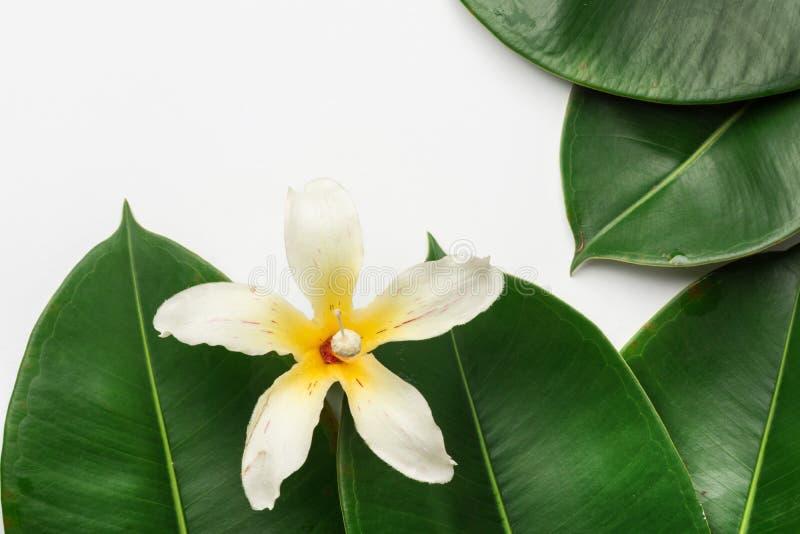 Beautiful big green ficus leaves tropical flower white background. Organic Cosmetics wellness spa body care meditation purity. Concept. Minimalist. High stock photos