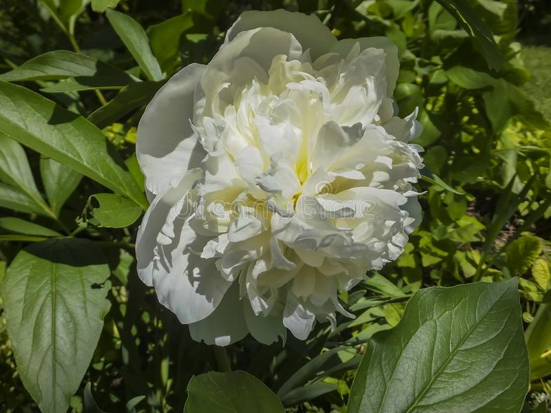 Beautiful big head of white peony blooms under the sun. Amazing fragrant flower. royalty free stock photography
