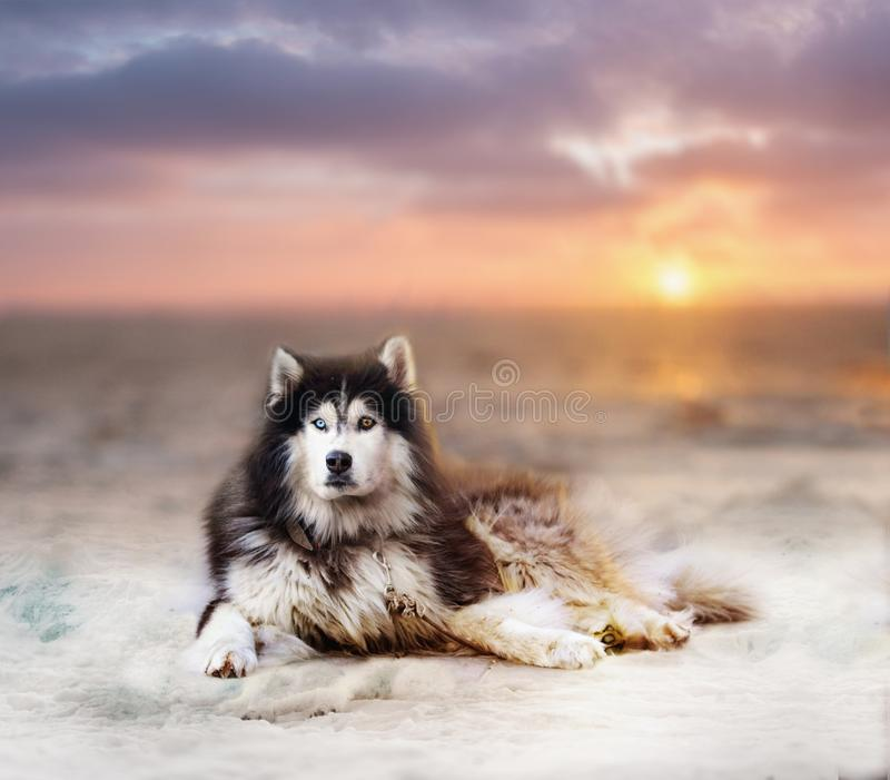 Beautiful big husky dog on a snow. In sunset. Animal with different eyes color royalty free stock photos