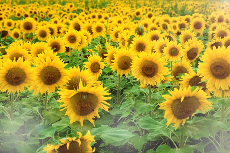 A beautiful big meadow, with many yellow flowers with yellow sunflowers royalty free stock image