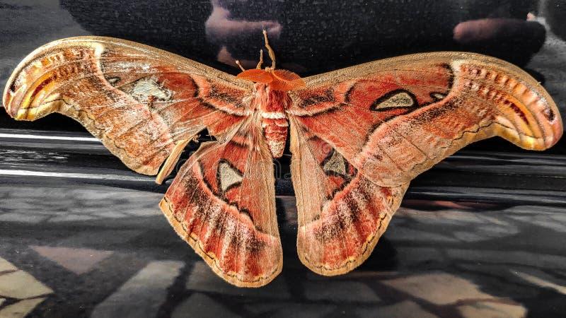 Beautiful Big Moth stock photography