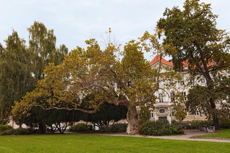 Beautiful big and old trees in small park in the heart of the old part of city Maribor. Slovenian city in autumn cloudy day. stock photo