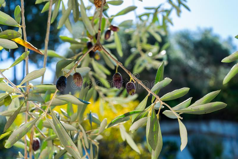 A few olives on the branch royalty free stock images