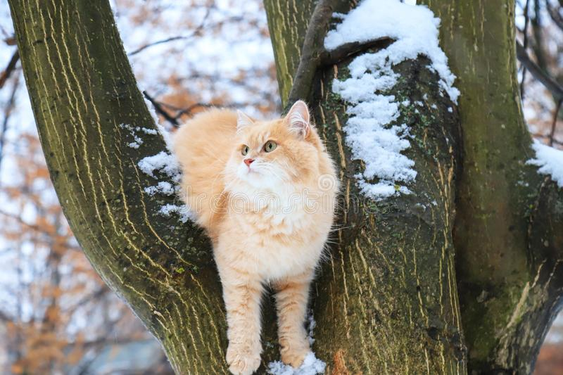 A beautiful big red cat sitting on a tree in a winter stock image