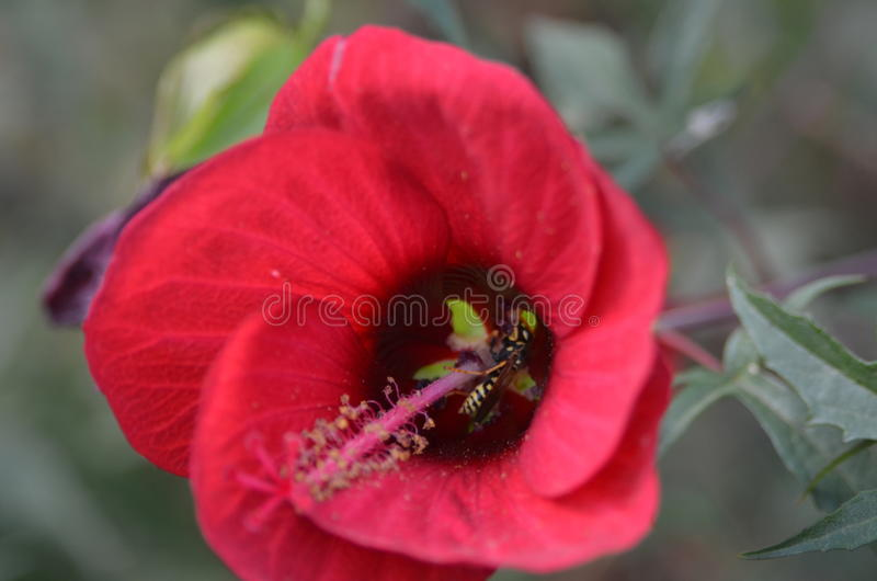 Hibiscus and bee stock images