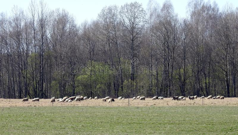 Sheep gang in meadow, Lithuania. Beautiful big sheep gang in spring field near forest royalty free stock photo