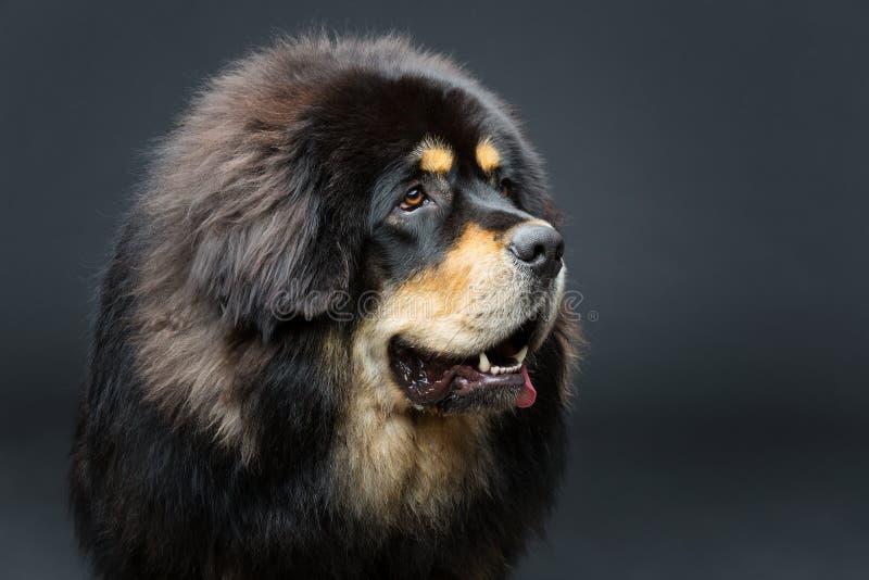 Beautiful big Tibetan mastiff dog. Closeup portrait of big beautiful Tibetan mastiff dog over black background. Copy space stock photo