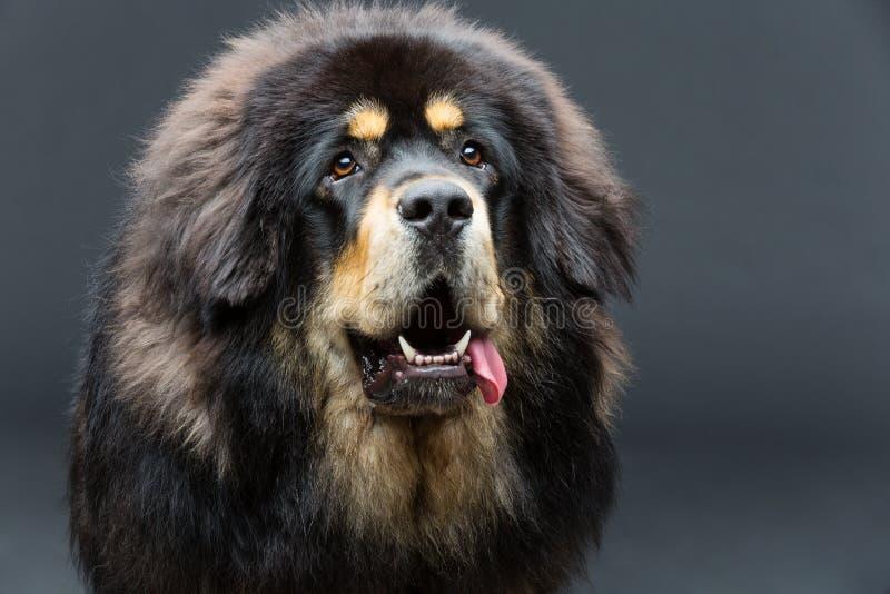 Beautiful big Tibetan mastiff dog. Closeup portrait of big beautiful Tibetan mastiff dog over black background. Copy space royalty free stock photo