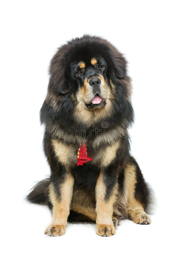 Beautiful big Tibetan mastiff dog royalty free stock image