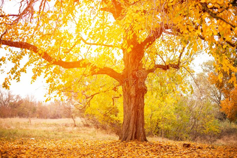 Beautiful big tree with yellow leaves autumn time royalty free stock images