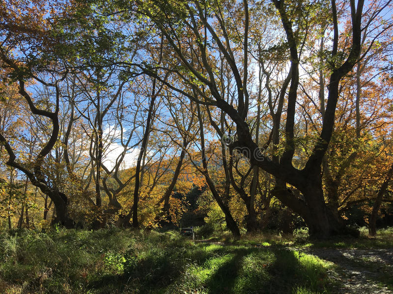 Beautiful big trees during autumn. Beautiful big trees with autumn colors around the Peneios river in Thessaly, Greece royalty free stock photos