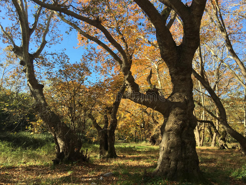 Beautiful big trees during autumn. Beautiful big trees with autumn colors around the Peneios river in Thessaly, Greece stock images