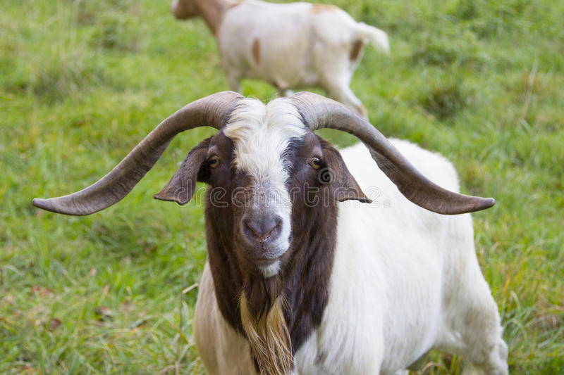 Beautiful Billy goat stock photography