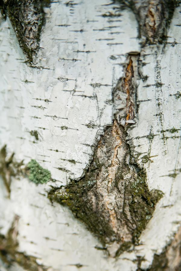 Birch bark texture close up vertically for background. A beautiful birch bark texture close up vertically for background stock photography