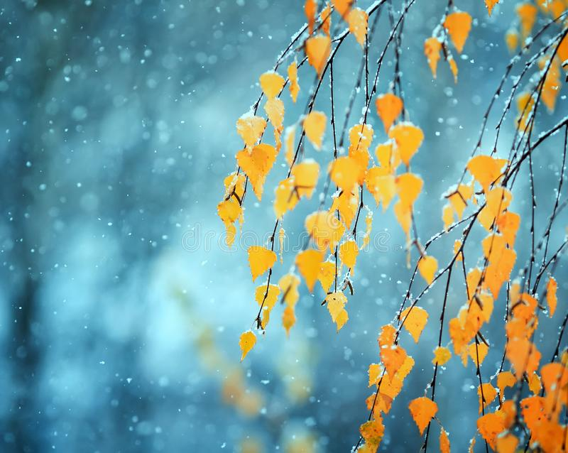 Beautiful birch branches with Golden autumn older leaves covered royalty free stock images