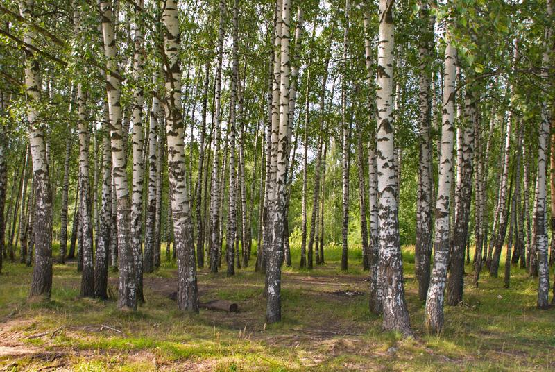 Beautiful birch forest on a warm summer day stock photos