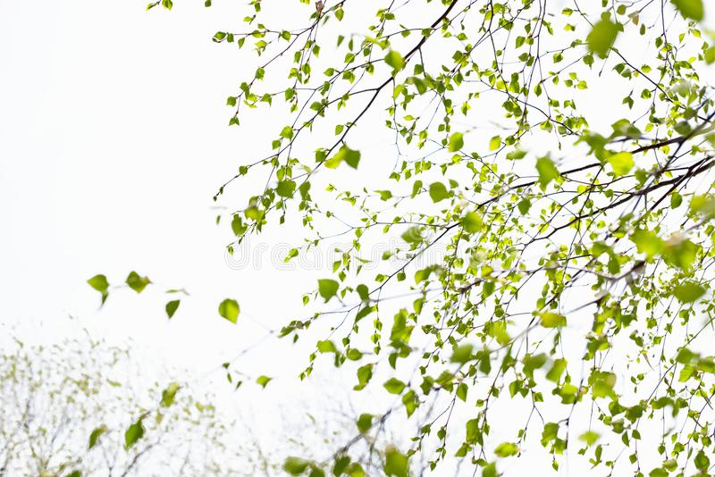 Beautiful birch tree branch with green leaves in the sky. royalty free stock photo