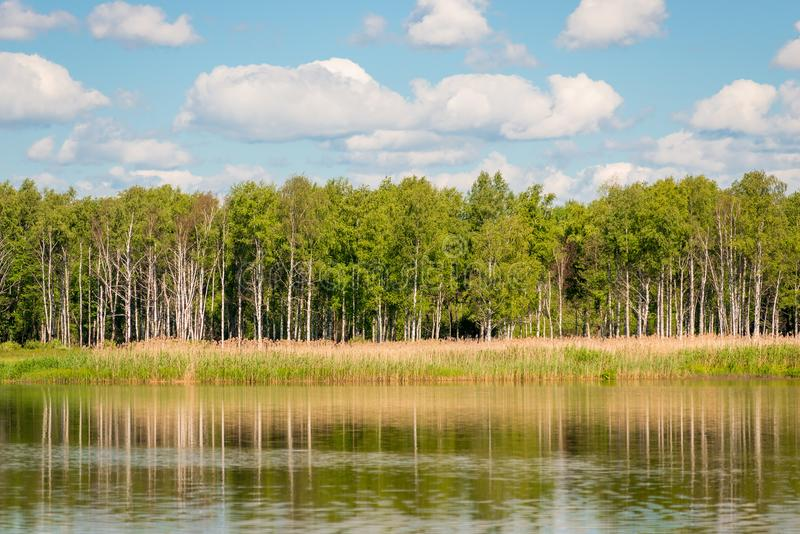 Beautiful birch trees on the shore of a calm lake stock image