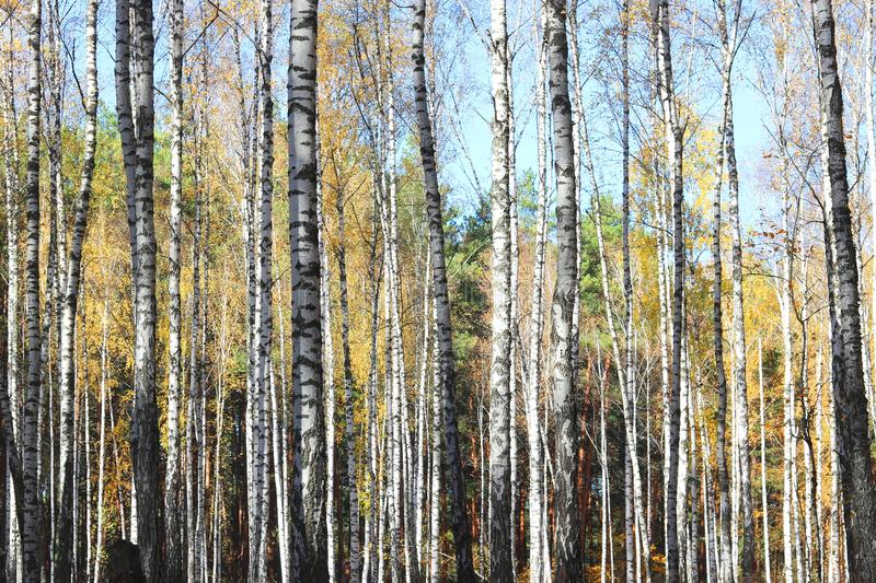 Birch trees in autumn. Beautiful birch trees with yellow leaves in autumn royalty free stock photography