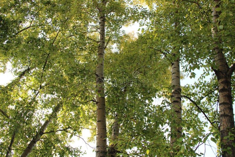Beautiful birchs royalty free stock photography