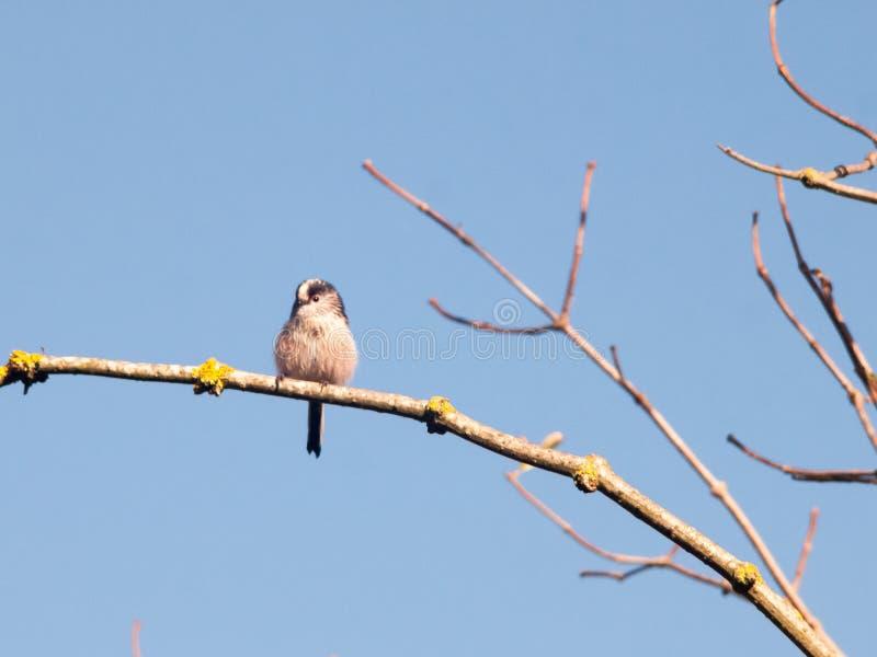 Beautiful bird in autumn tree branch up close blue sky. Essex; england; uk stock photo
