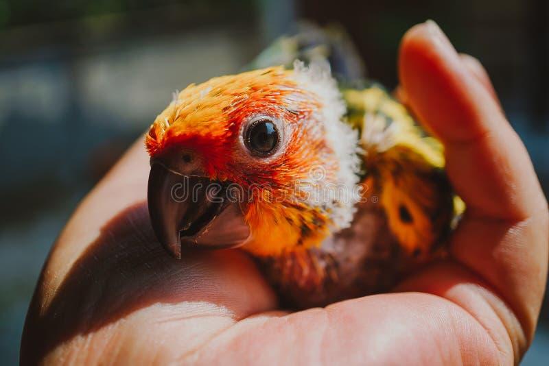 Closeup Sun Conure bird stock image