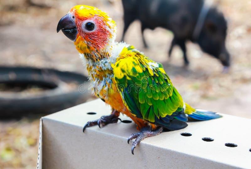 Beautiful bird, closeup Sun Conure bird stock photo