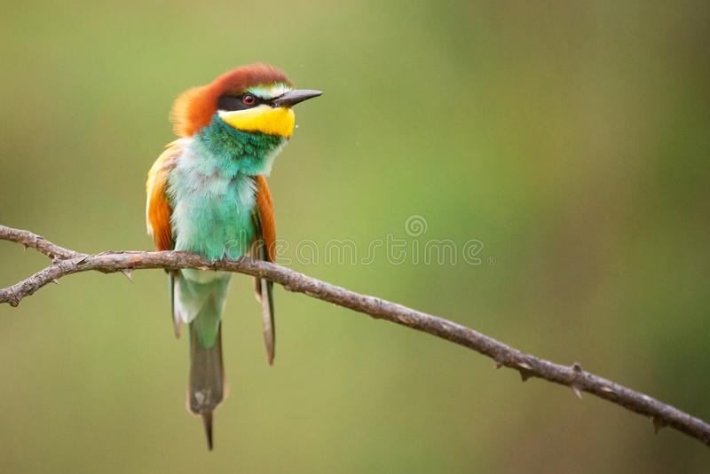 Beautiful bird - European bee-eater Merops apiaster sitting on a branch. royalty free stock photography