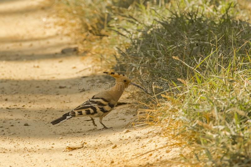 Common Hoopoe Hunting for Insects on Ground. This beautiful bird with a fawn head and crest ,long thin beaks and black and white striped wing feathers walking on stock photography