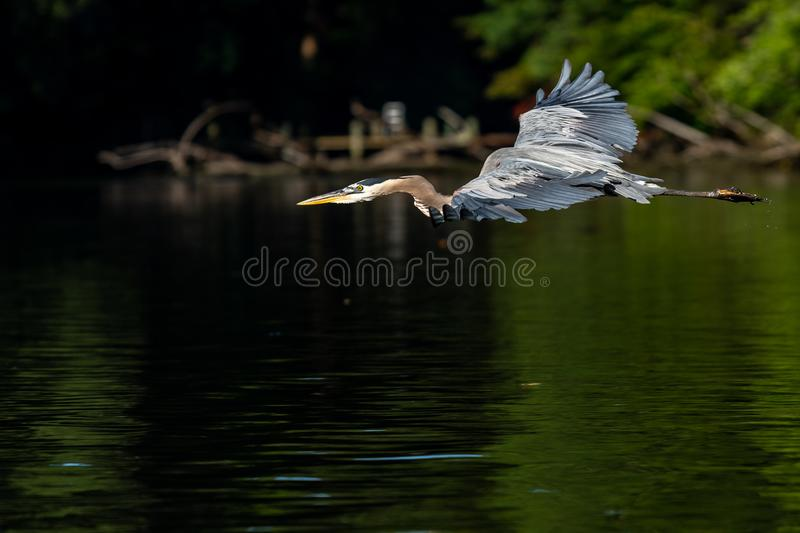 Great Blue Heron in Early Morning Flight stock images