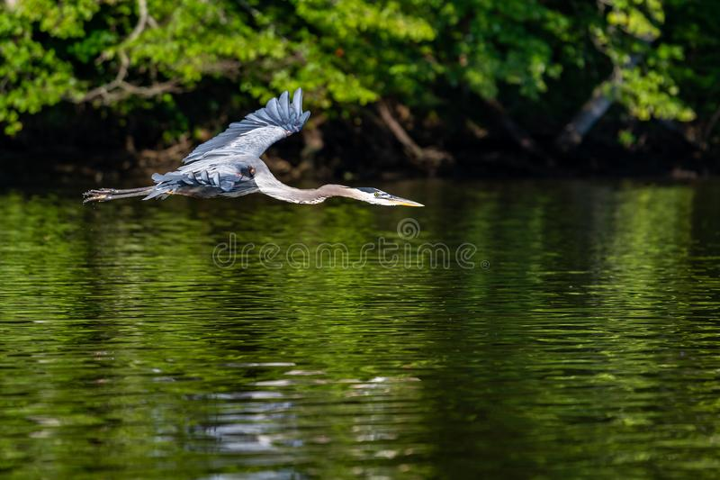 Great Blue Heron in Early Morning Flight royalty free stock photo
