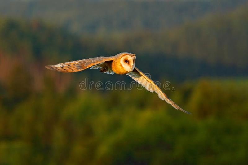 Beautiful bird in fly. Nice evening sun. Barn Owl, nice light bird in flight, in the grass, outstretched wings, action wildlife sc. Ene with forest hills royalty free stock photography