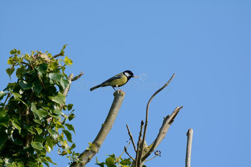 Greattit Parus major high on a branch royalty free stock image