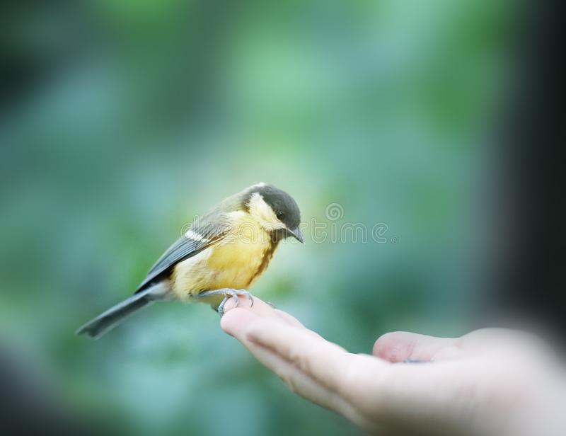 Beautiful bird the bird on the hand pictures closeup. On wood background stock photography
