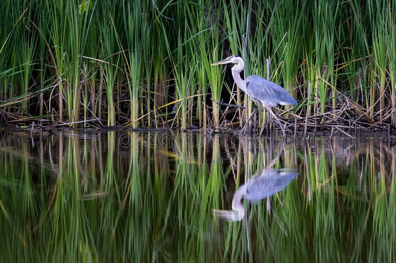 Great Blue Heron on the Hunt royalty free stock image