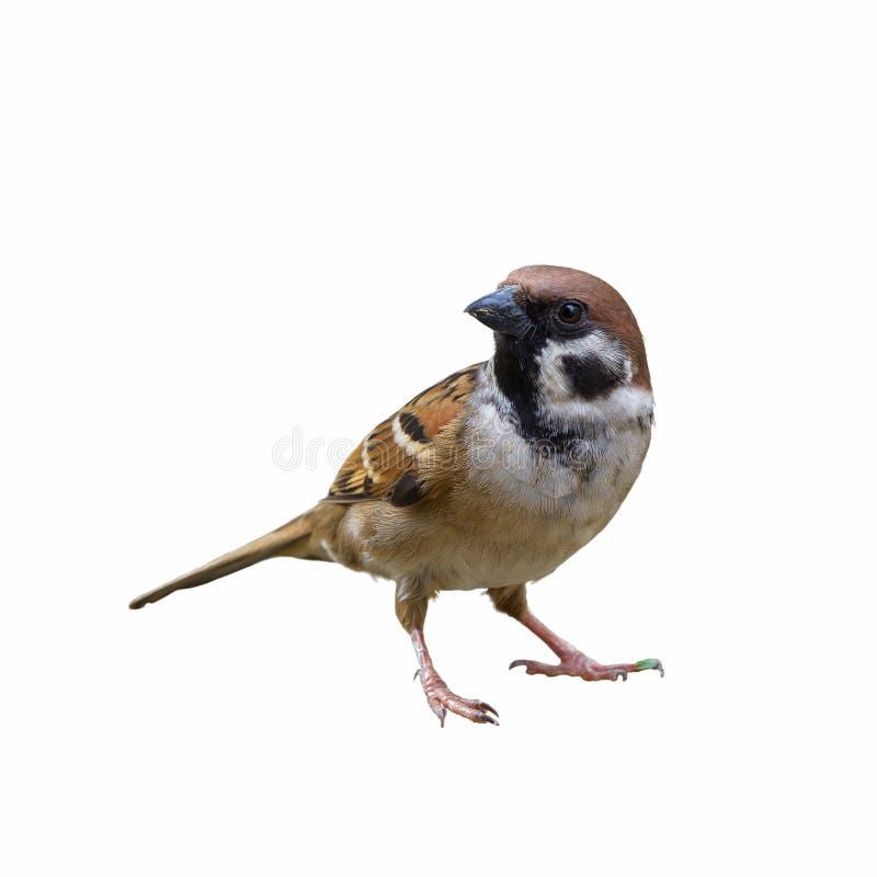 Beautiful bird isolated. Eurasian Tree Sparrow or Passer montanus, beautiful bird isolated with white background