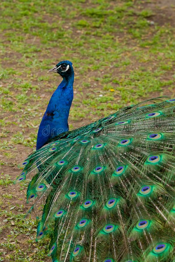 Beautiful bird male peacock close up. Shot made in Reservation A royalty free stock photography