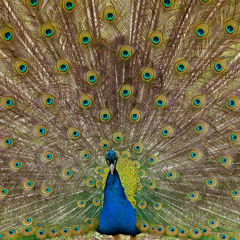 Beautiful bird male peacock close up. Shot made in Reservation A royalty free stock photos