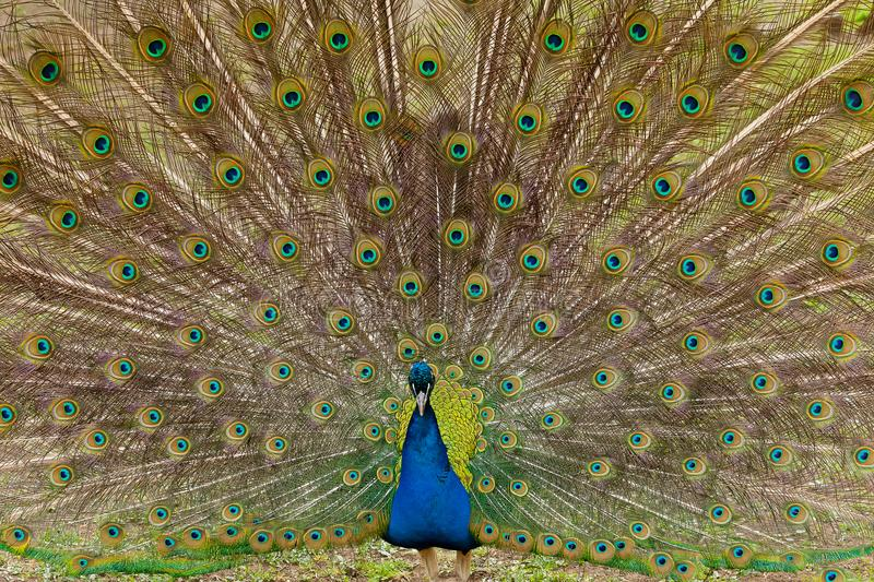 Beautiful bird male peacock close up. Shot made in Reservation A royalty free stock images