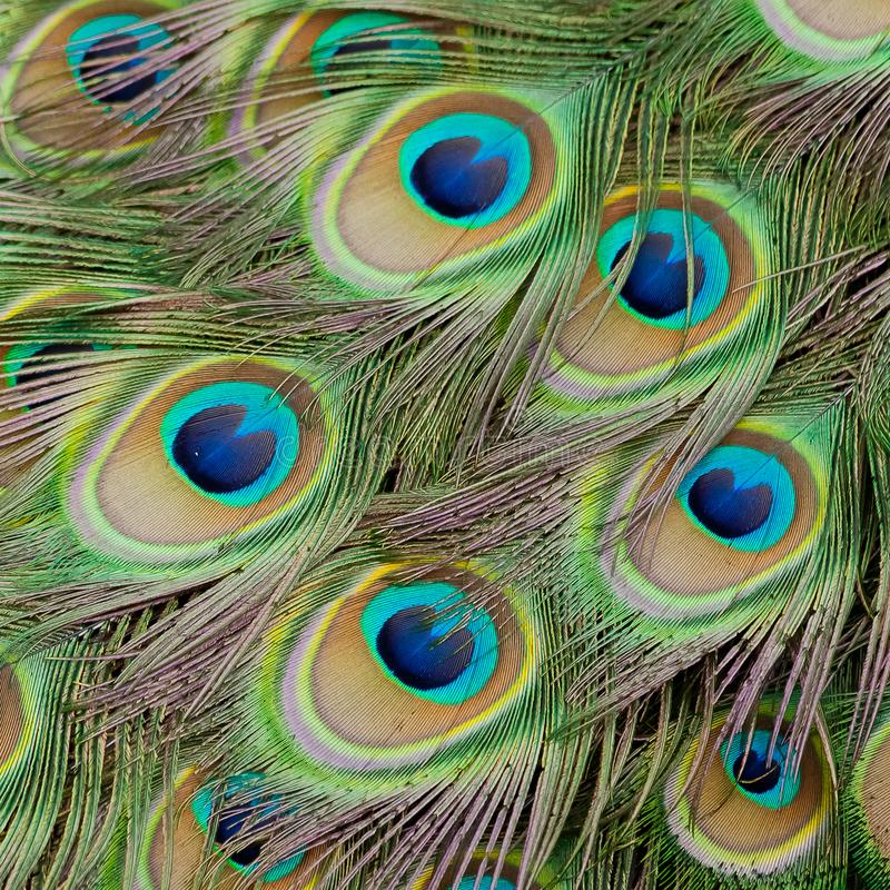 Beautiful bird male peacock plumes close up royalty free stock photos