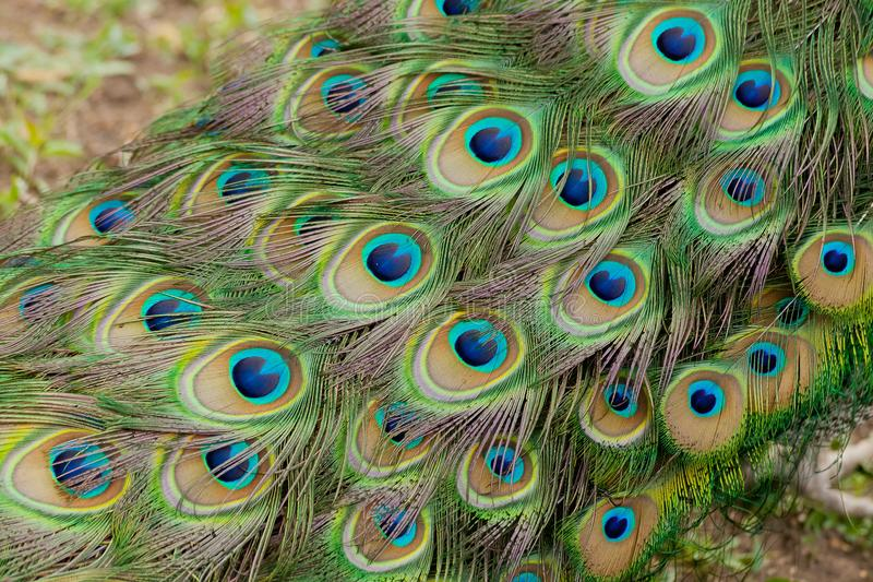 Beautiful bird male peacock plumes close up royalty free stock photography