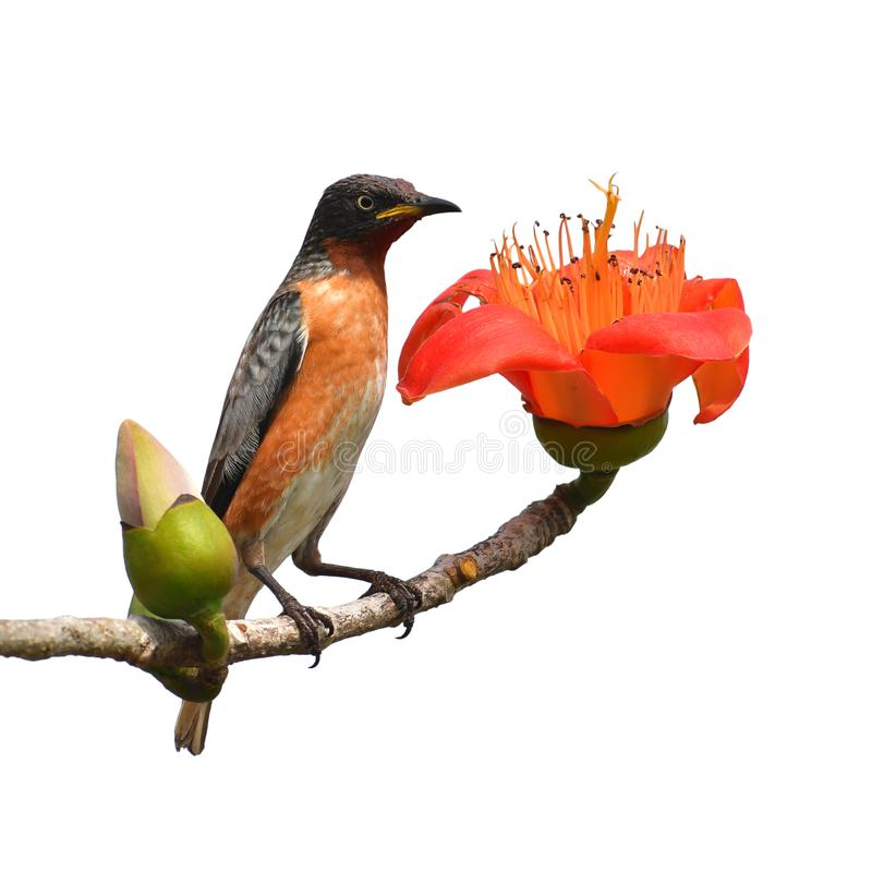 Spot-winged Starlings. Beautiful bird, Male of Spot-winged Starlings Saroglossa spilopterus Bird perching on a Bombax ceiba red flower stock photo