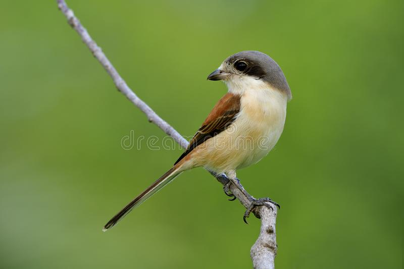 Beautiful bird in nature with details of her feathers and perching compose on stick over blur green background, Burmese Shrike stock images
