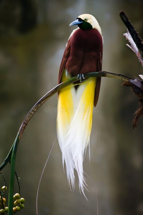 Beautiful bird of paradise stock image