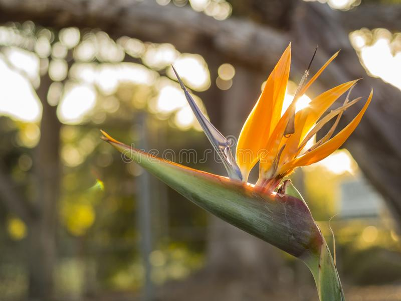Beautiful Bird of Paradise Flower blossom. Saw at Los Angeles royalty free stock photography