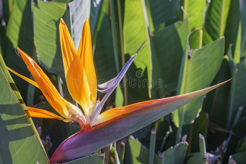 Beautiful Bird of Paradise Flower blossom. Saw at Los Angeles stock photo