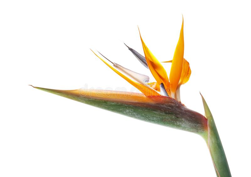 Beautiful bird of paradise flower. On white background. Tropical plant royalty free stock photography