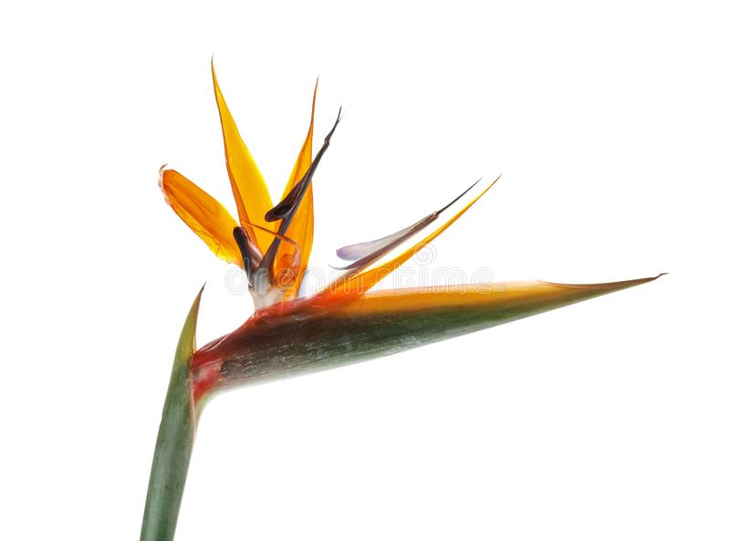 Beautiful bird of paradise flower. On white background. Tropical plant royalty free stock images